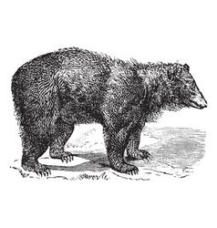American Black bear engraving vector image vector image