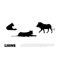 black silhouette of lions on a white background vector image