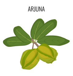 arjuna ayurvedic medicinal herb isolated white vector image vector image