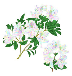 Branches colorful rhododendron branch flowers vector