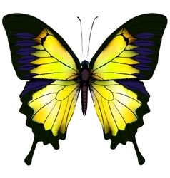 Butterfly Yellow isolated vector