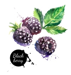 Hand drawn watercolor painting blackberry on vector image