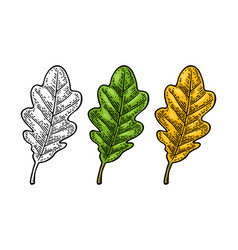 oak leaf spring green and autumn orange vector image