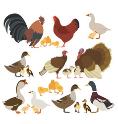 Poultry farming chicken turkey duck goose family vector