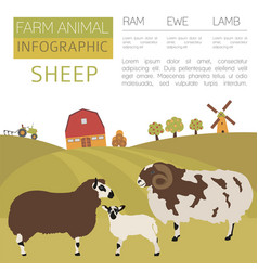 sheep farming infographic template ram ewe lamb vector image