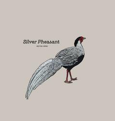 Silver pheasant gallophasis nycthemerus vintage vector