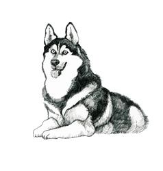 Sketched husky dog hand drawn vector image