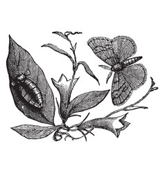 Vapourer moth vintage vector