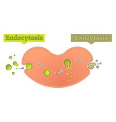 endocytosis and exocytosis diagram vector image