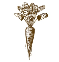 engraving beetroot vector image