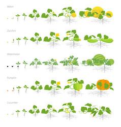 Set of growth stages cucurbitaceae plants pumpkin vector