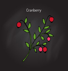 wild forest ripe cranberries and leaves vector image