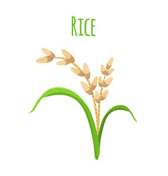 rice plant vegetarian food harvest oryza wheat vector image vector image