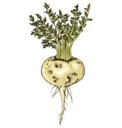 hand drawn maca plant vector image