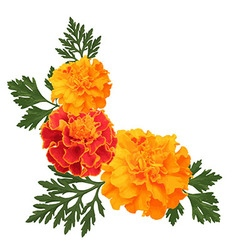 Marigolds on white vector