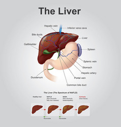 The liver anatomy human body vector