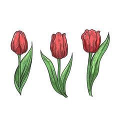 Tulip flower sketch engraving vector