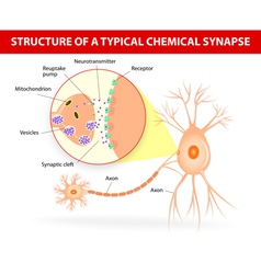 Structure of a typical chemical synapse neurotrans vector image vector image