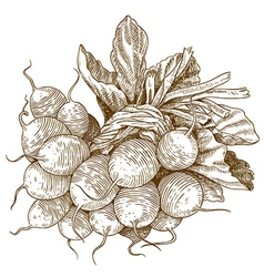 Engraving radish vector