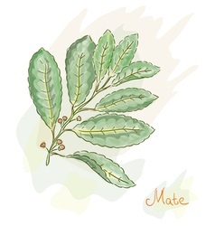 yerba mate watercolor style vector image vector image
