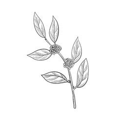 Drawing bay laurel branch vector