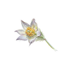 watercolor pasque-flower hand drawn vector image