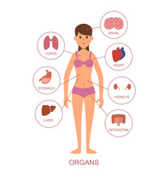 internal organs of the human body anatomy of the vector image