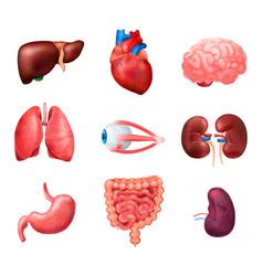 Realistic human internal organs anatomy icon set vector