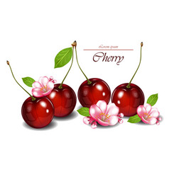Cherry fruits with flowers realistic vector