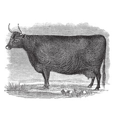 devon cow vintage vector image