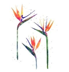 Watercolor Strelitzia flower vector