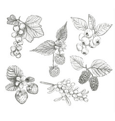sketch berries set vector image