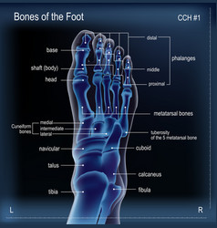 X ray of bones the of foot vector