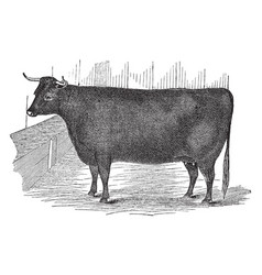 Devon heifer vintage vector