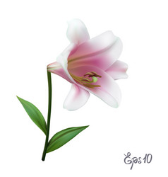 pink lily on a white background vector image