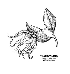 ylang ylang drawing isolated vintage vector image