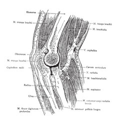 Sagittal section of the elbow vintage vector