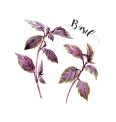 Watercolor hand drawn basil vector image