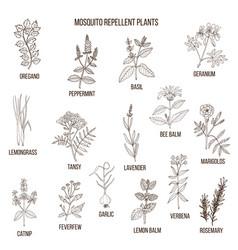 Best mosquito repellent plants vector