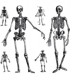 skeleton drawings vector image vector image