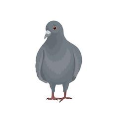 Cute grey urban pigeon bird standing front view vector