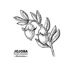 Jojoba drawing isolated vintage vector