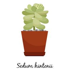 sedum hintonii cactus in pot vector image vector image