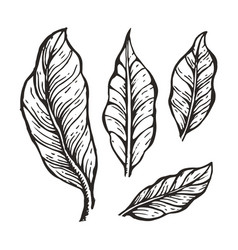 Coffee tree leaves sketch vector