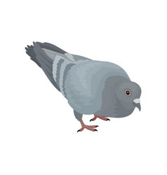 Grey urban pigeon bird on a vector