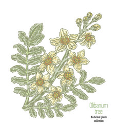 Hand drawn olibanum tree branch with flowers vector