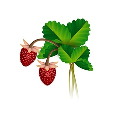 Wild strawberry berries and leafs vector