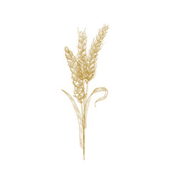 Bunch wheat ears or sheaf spikelets hand vector