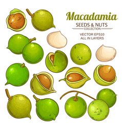 Macadamia plant isolated vector