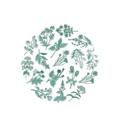 hand drawn medical herbs in circle shape vector image